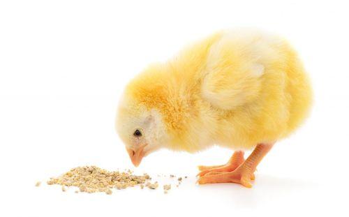Цыпленок