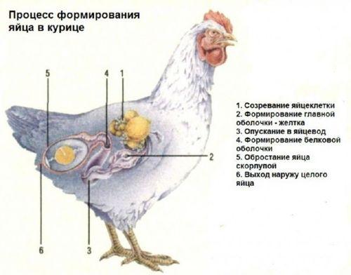 Как образуется яйцо в курице