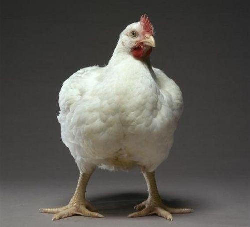 Бройлерная курица